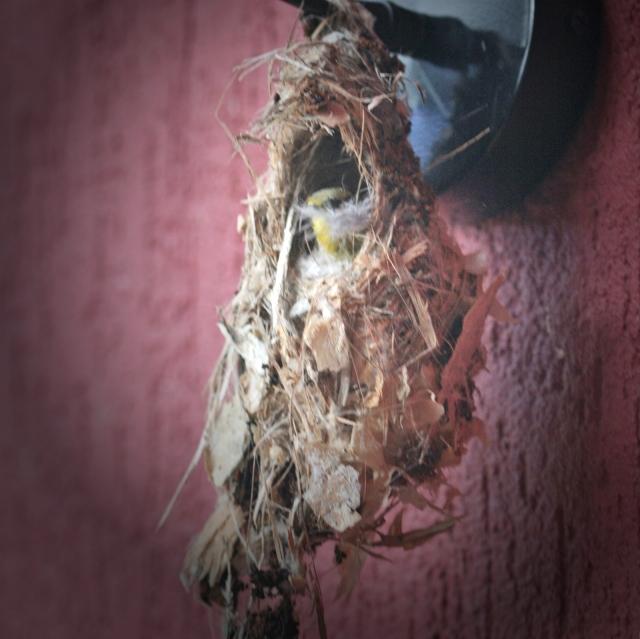 yellow bellied sunbird, yellow breasted sunbird, olive backed sunbird  building her nest